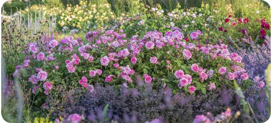 ausbord róże pachnące angielskie