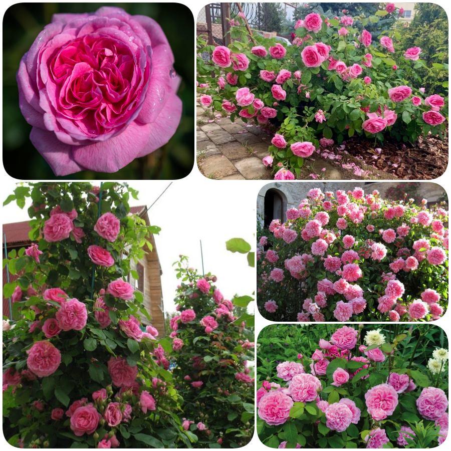 pachnące angielskie róże  ausbord