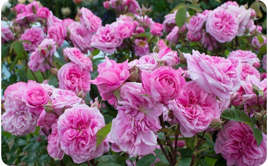 róże pachnące angielskie ausbord