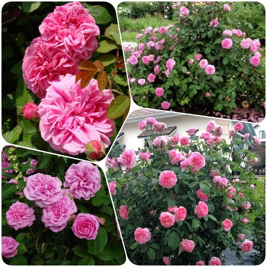angielskie róże pachnące ausbord