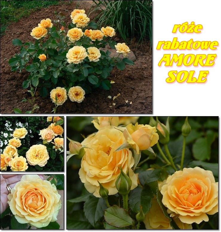 Amore sole obficie kwitnace róże rabatowe