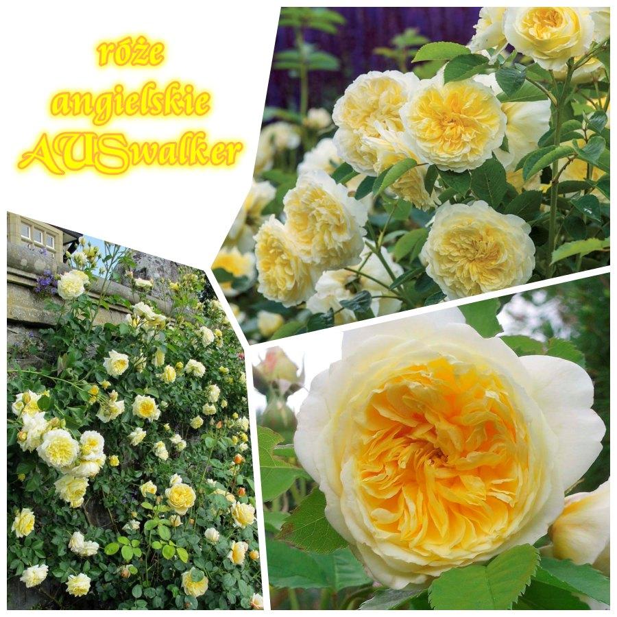 auswalker the pilgrim róze angielskie
