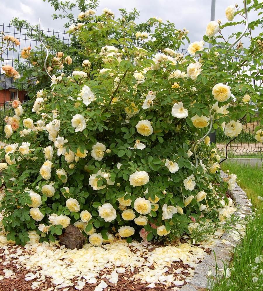 auswalker the pilgrim zółte róze angielskie