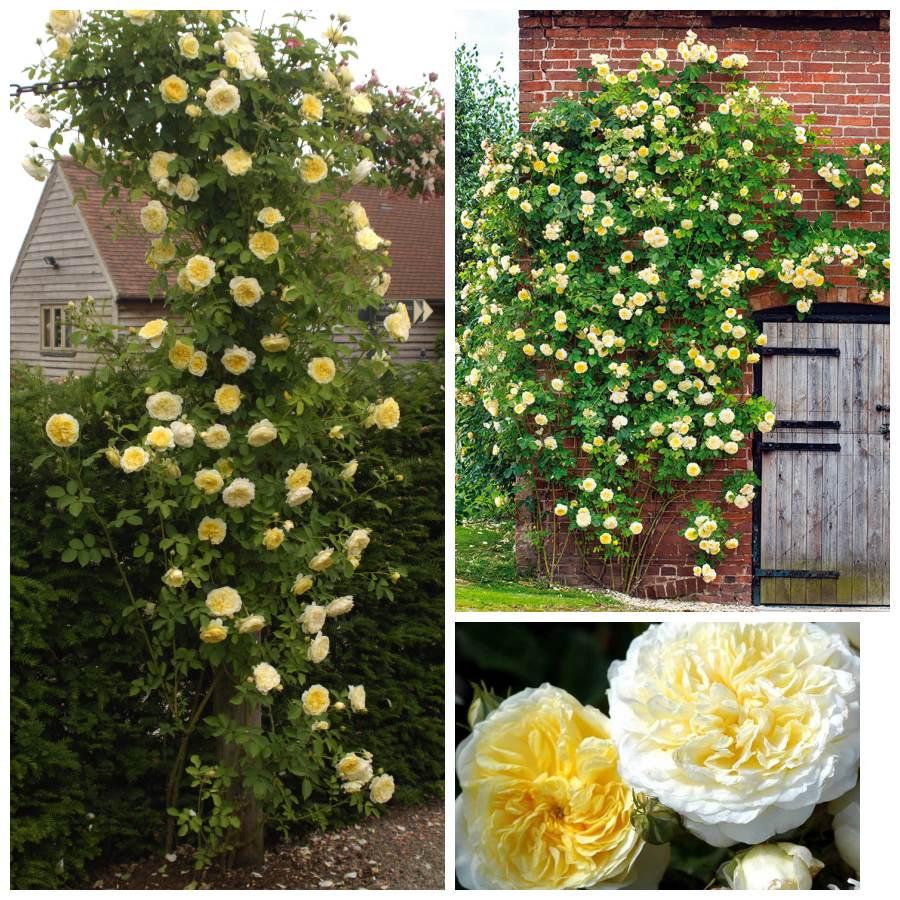 auswalker the pilgrim pachnące róze angielskie