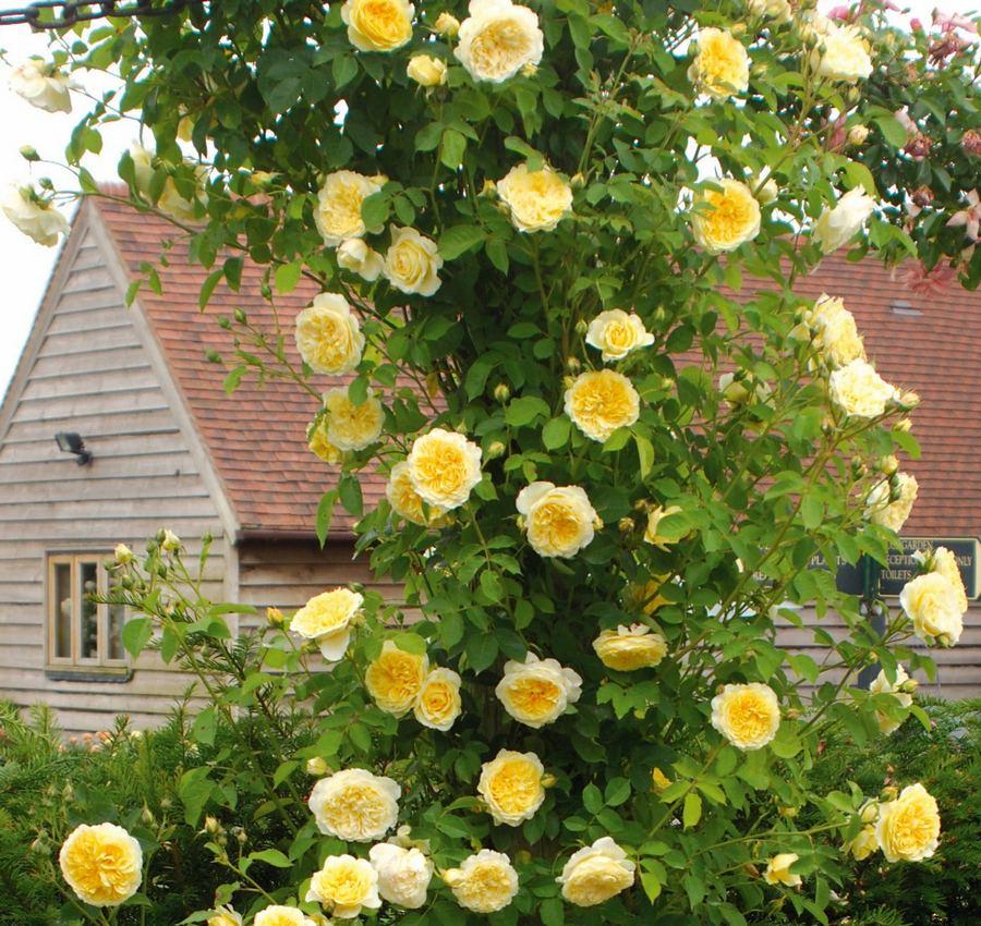 róze angielskie auswalker the pilgrim