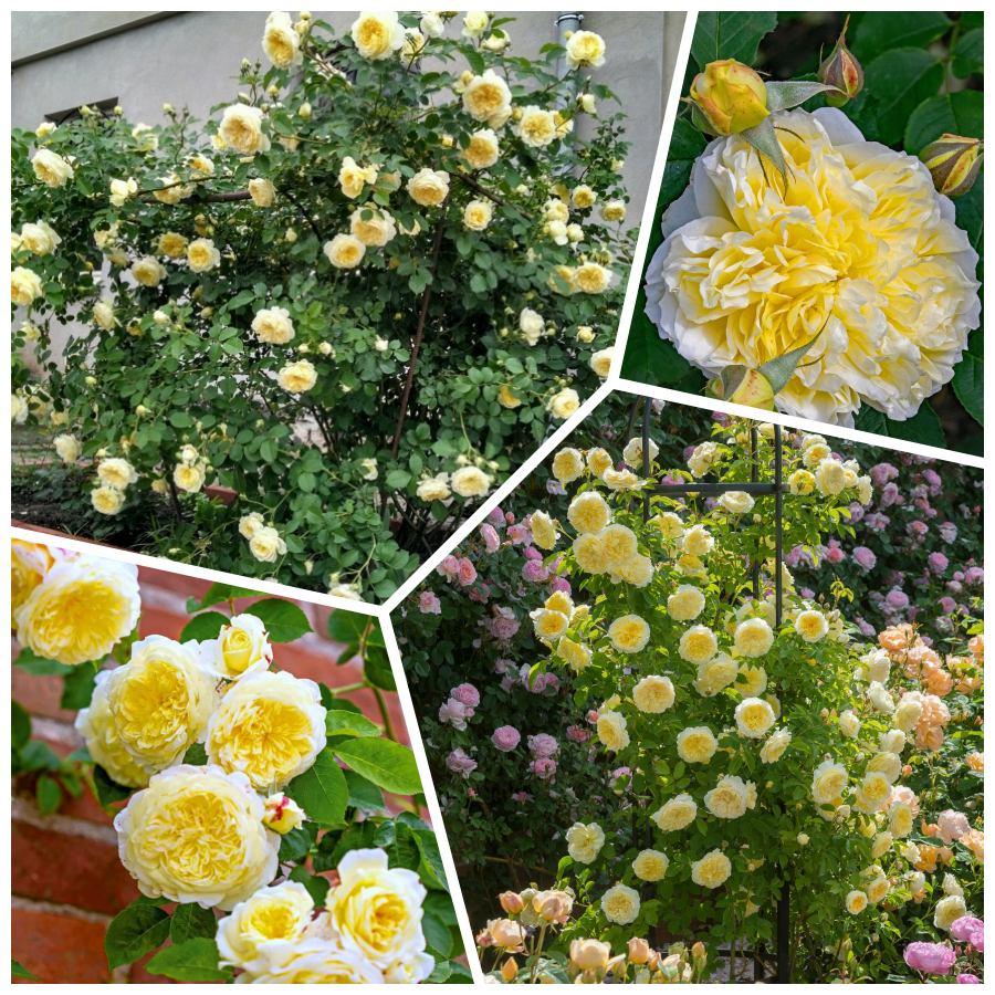 żółte róze angielskie auswalker the pilgrim