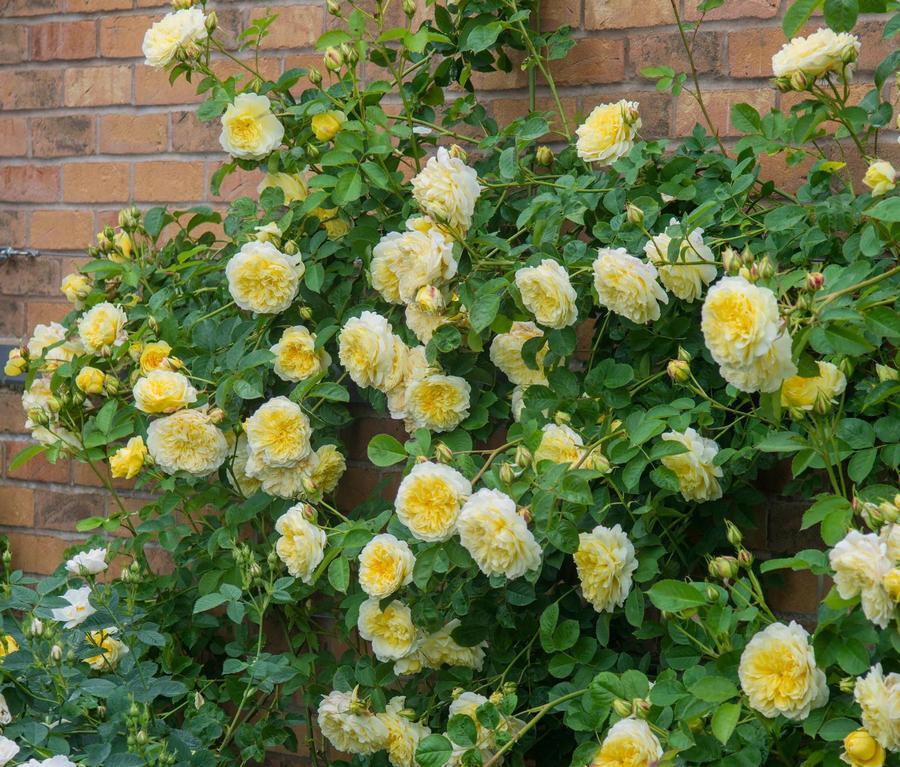 pachnące róze angielskie auswalker the pilgrim