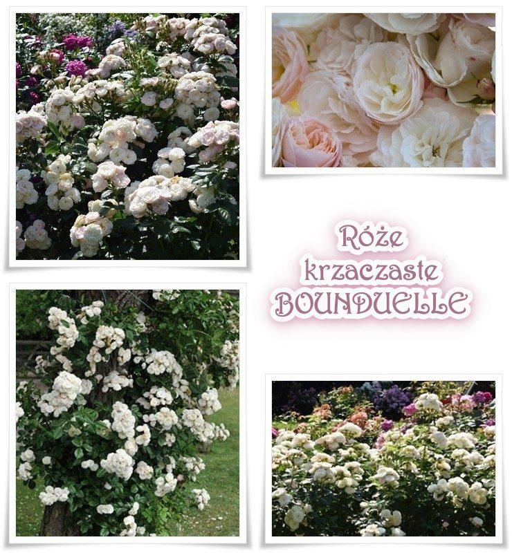 bounduelle róża krzaczasta