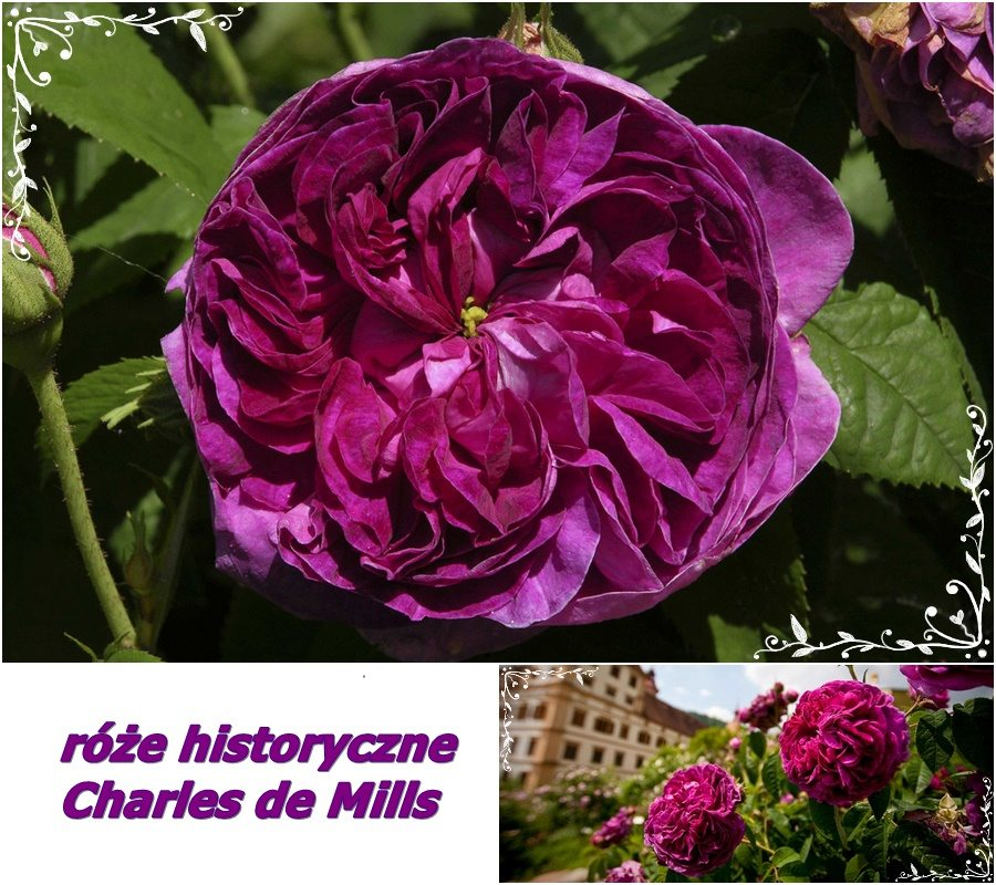 róże historyczne Charles de Mills