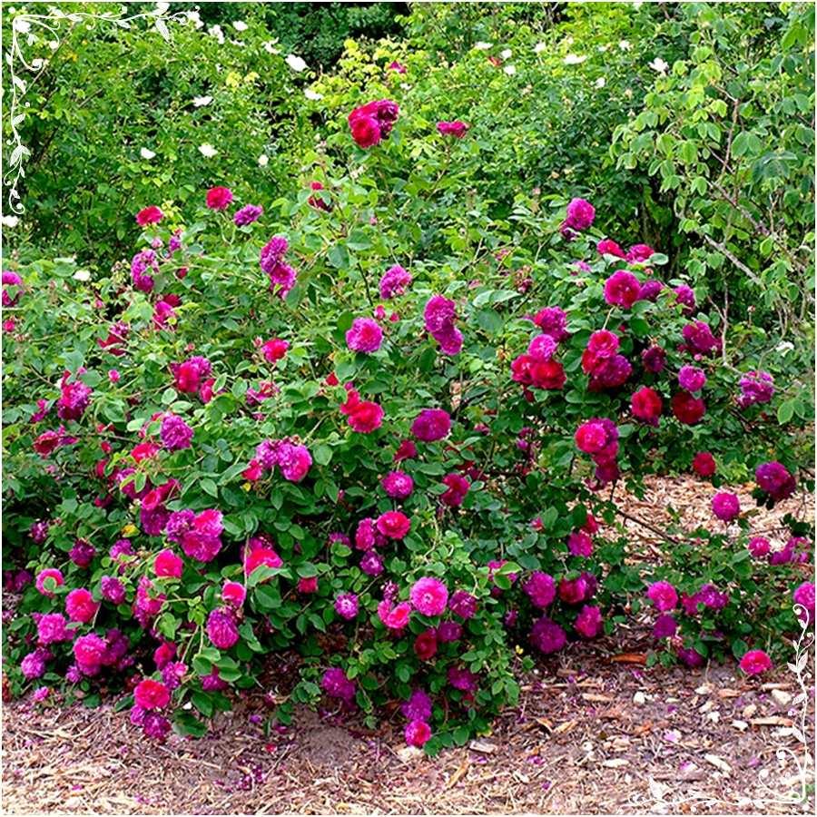 róże francuskie historyczne Charles de Mills