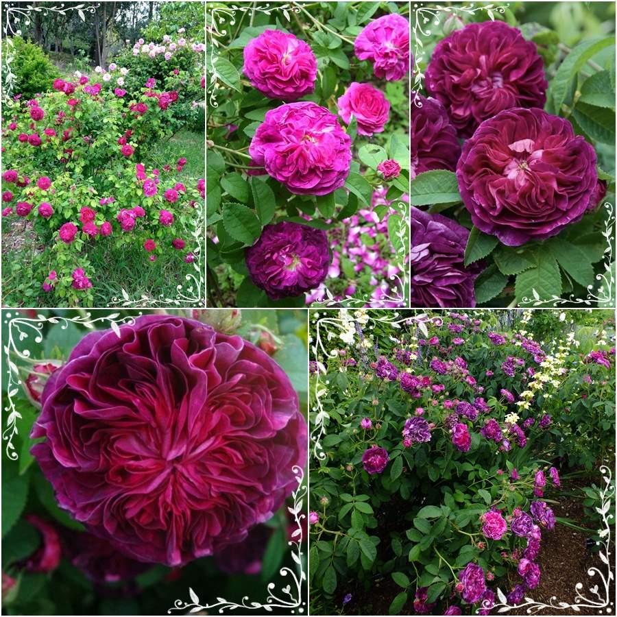 Charles de Mills historyczna odporna róża