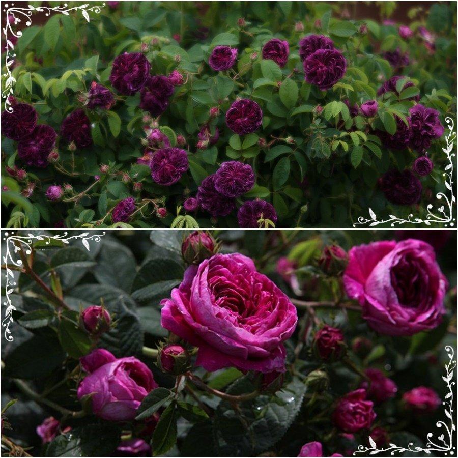 Charles de Mills róże francuskie historyczne