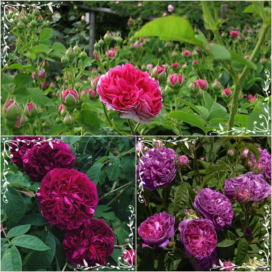 Charles de Mills pachnąca róża