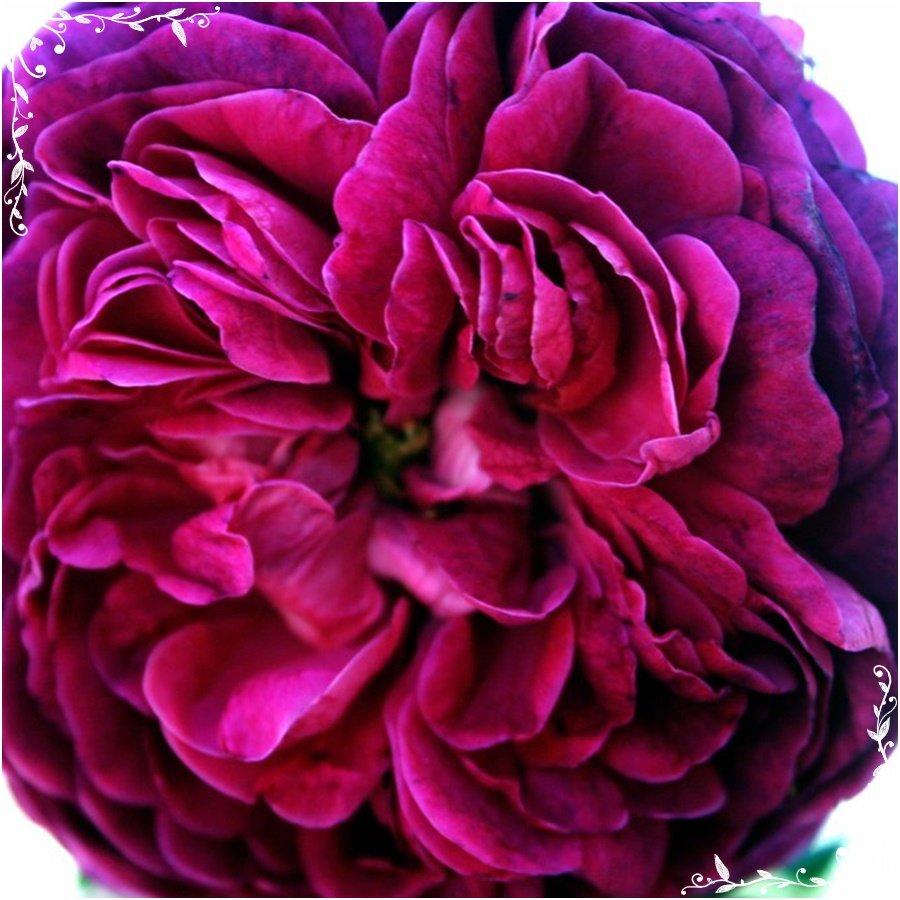 Charles de Mills tolerująca półcień róża