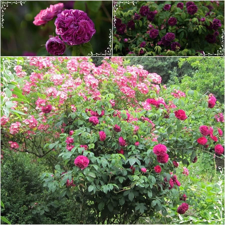 Charles de Mills wspaniała ciemnobordowa róża