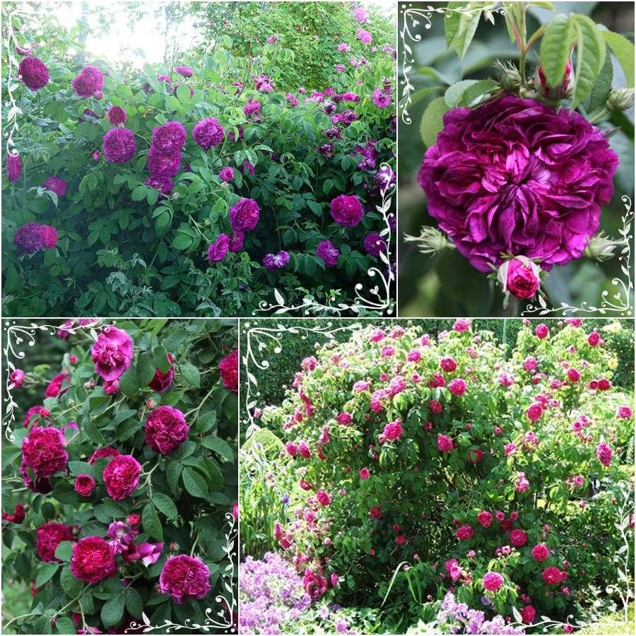Charles de Mills róża