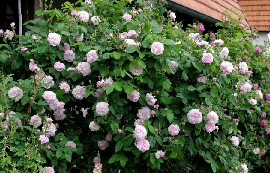 Fantin Latour pachnące róże stulistne