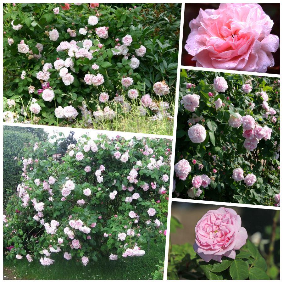 Fantin Latour odporne róże stulistne