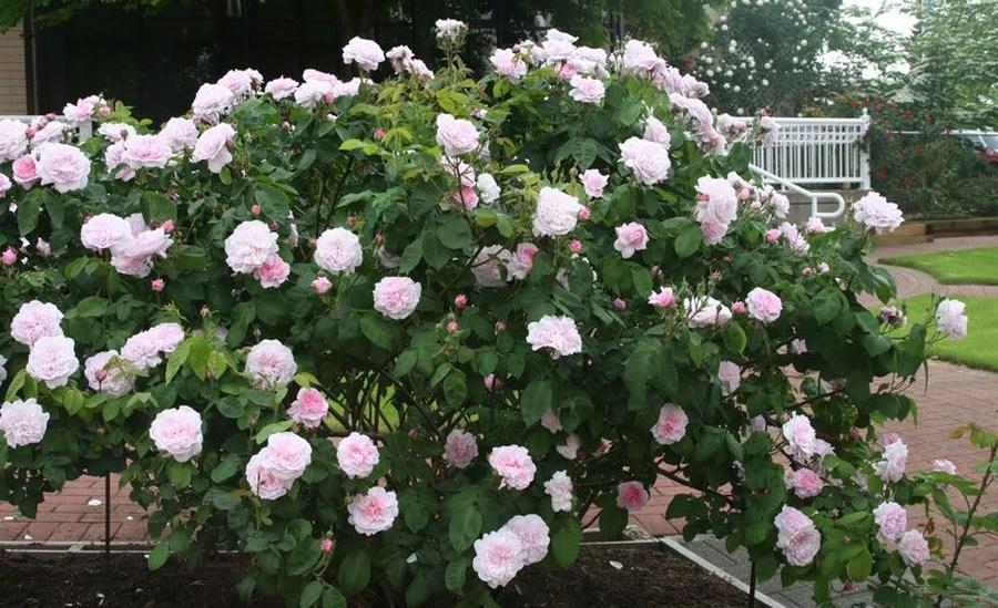 róże stulistne Fantin Latour