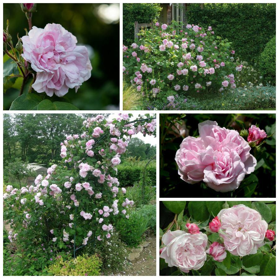 pachnące róże stulistne Fantin Latour