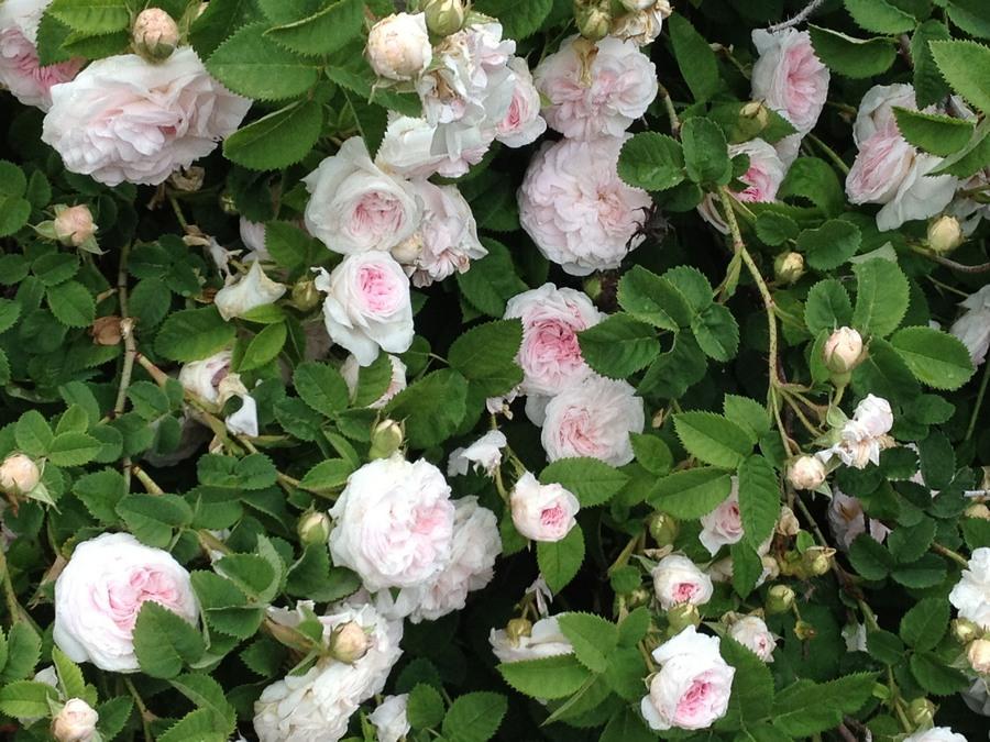 odporne róże stulistne Fantin Latour