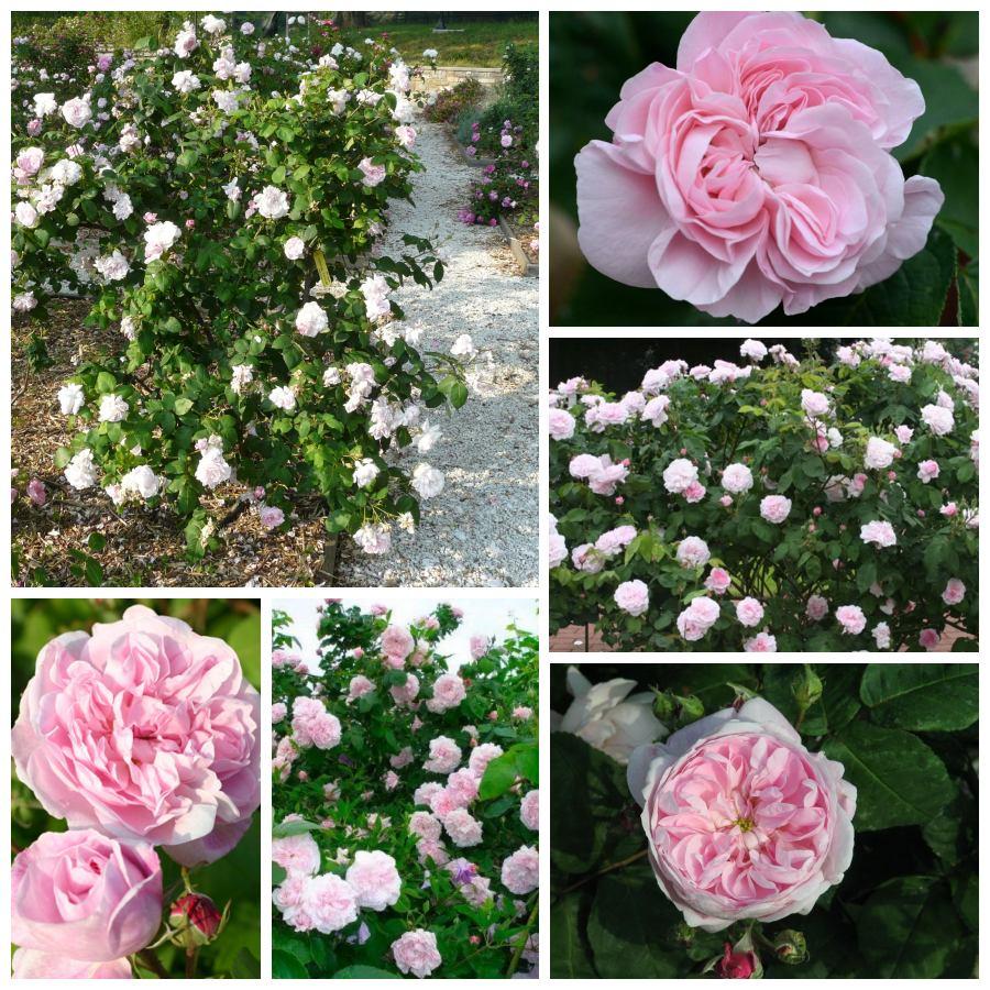 róże stulistne pachnące Fantin Latour