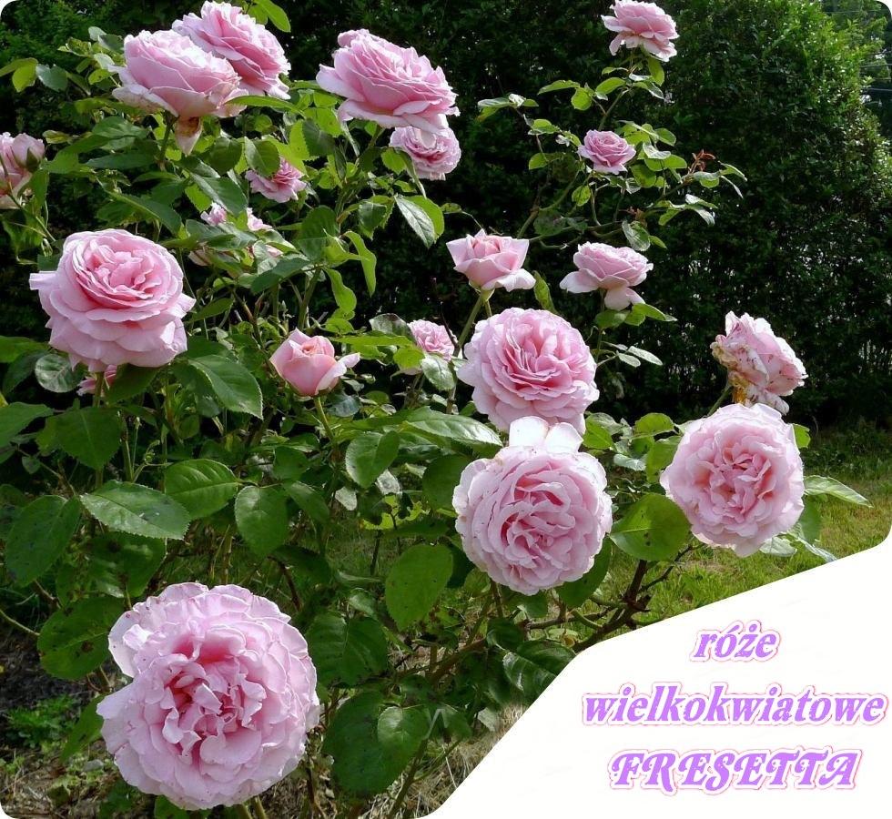 fresetta róże wielkokwiatowe