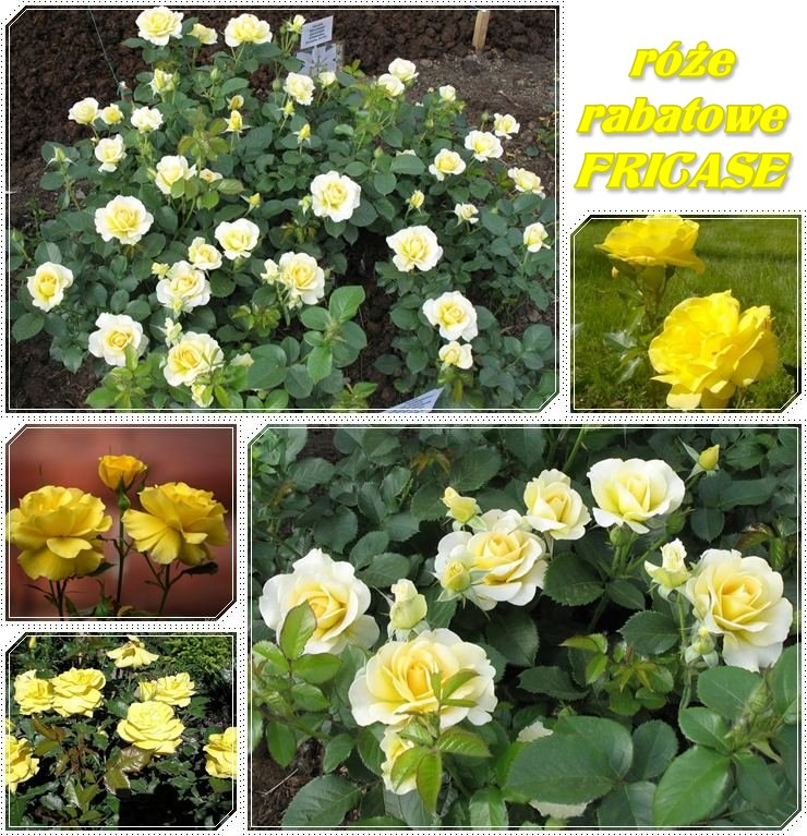 fricase żółte róże rabatowe