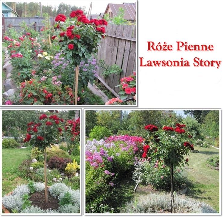 lawsonia story róże pienne