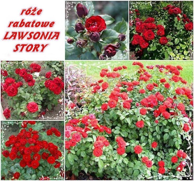 lawsonia story róże rabatowe