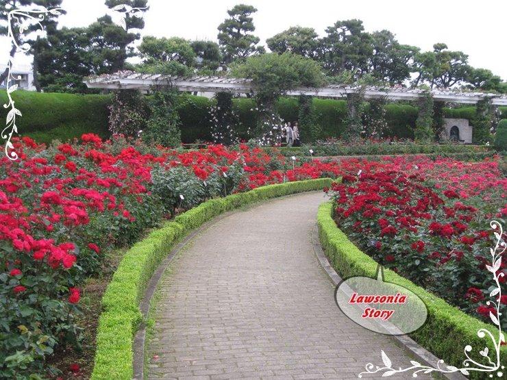 lawsonia story rabatowe bordowe róże