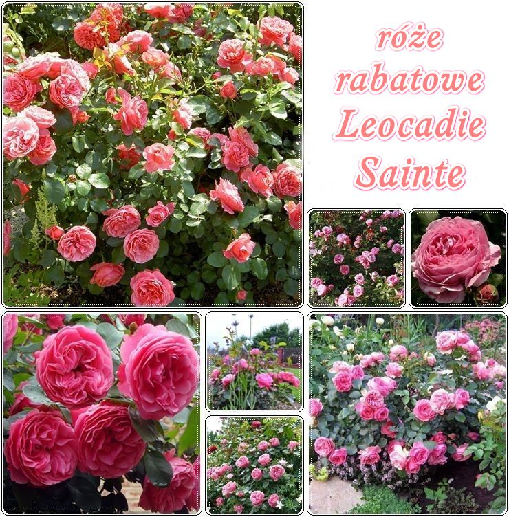 leocadie sainte róże rabatowe