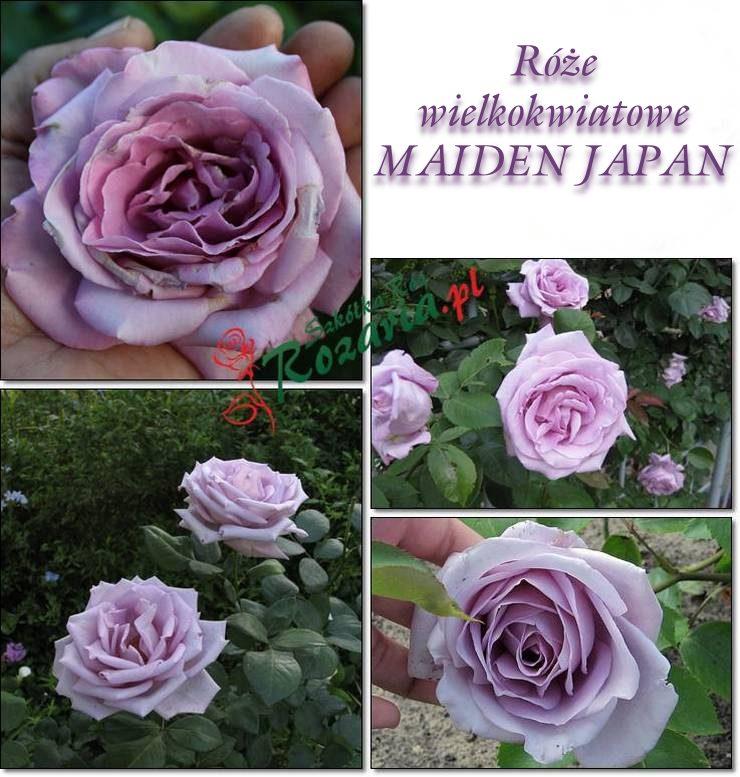 Maiden japan róże wielkokwiatowe