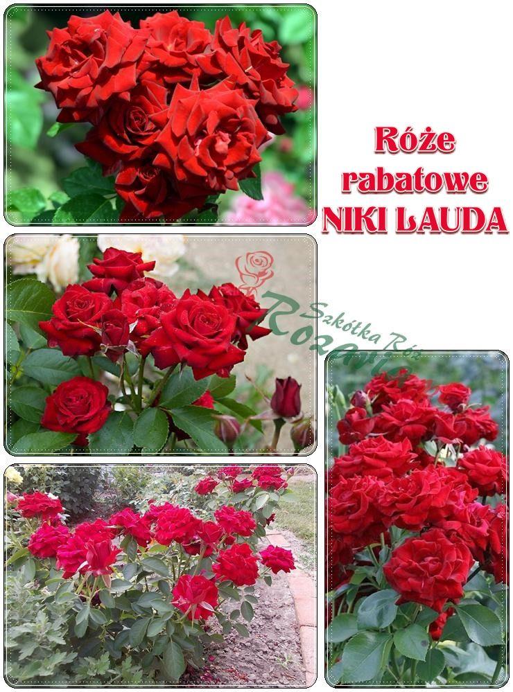 Niki lauda róże rabatowe