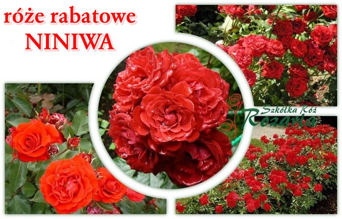 róże rabatowe niniwa