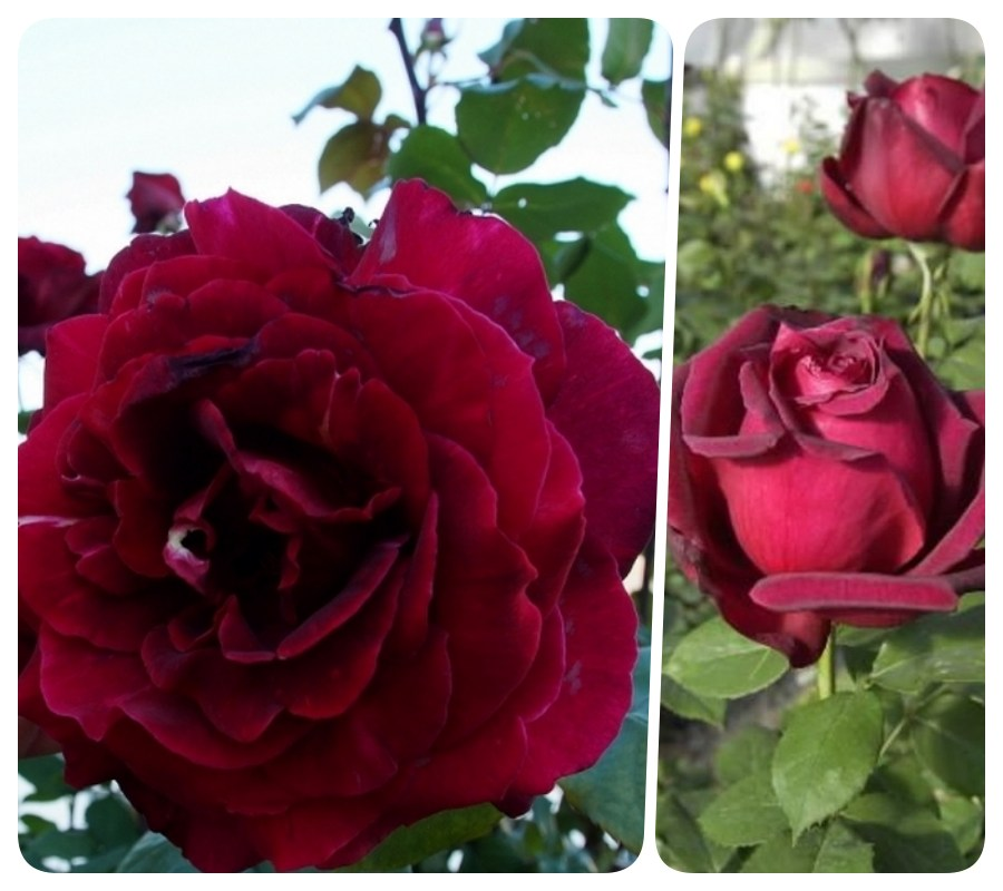 róże wielkokwiatowe Oklahoma pachnące