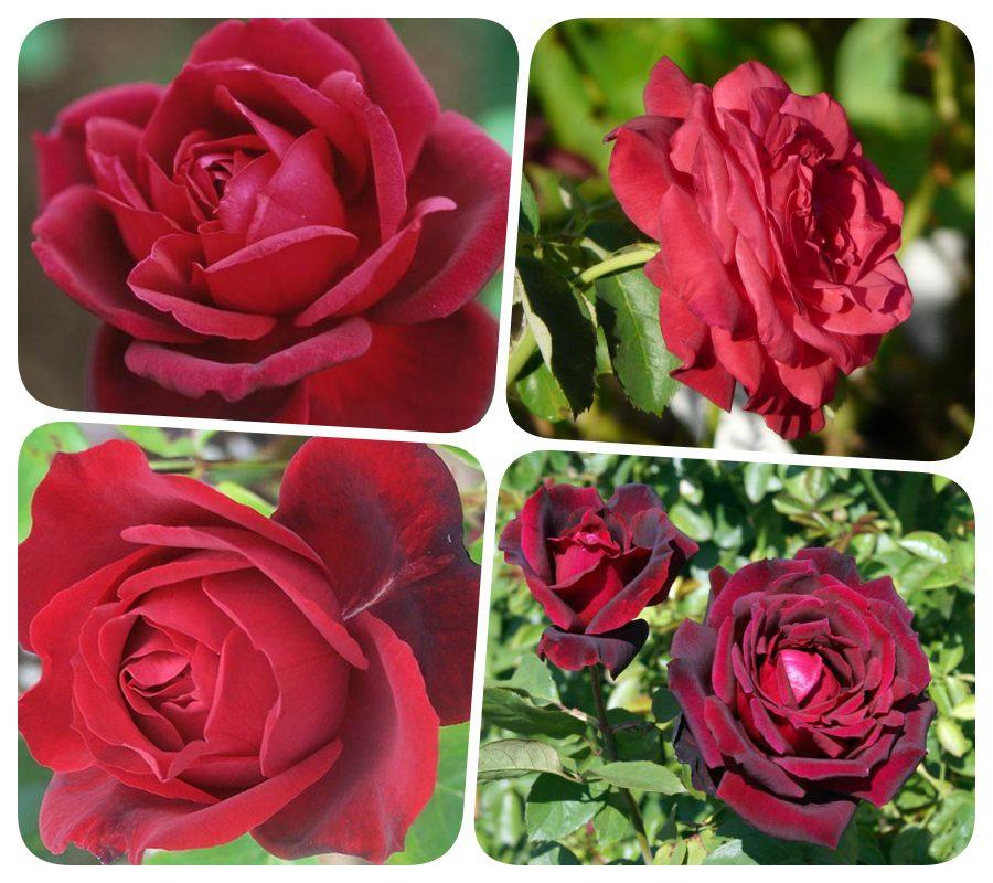 Oklahoma róże wielkokwiatowe