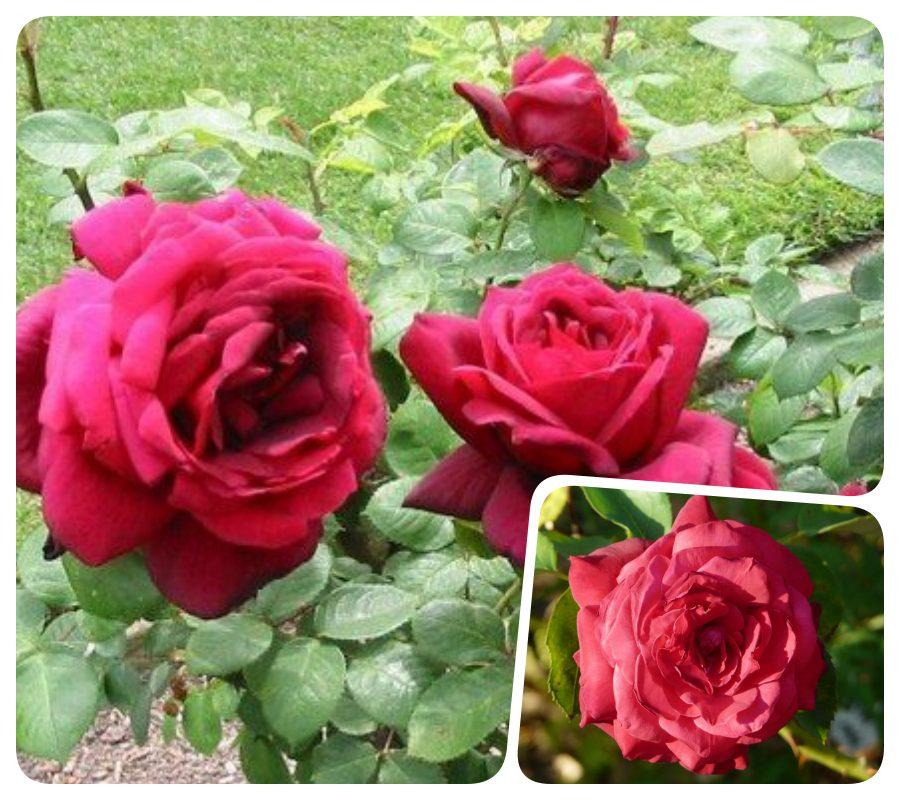 wielkokwiatowe róże Oklahoma