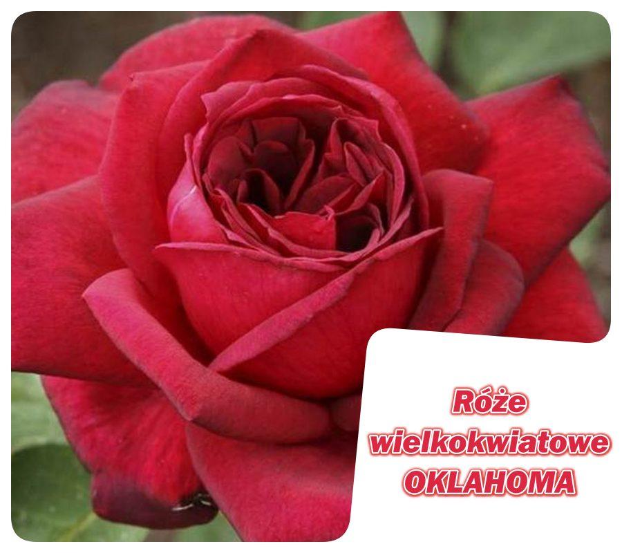 róże wielkokwiatowe Oklahoma