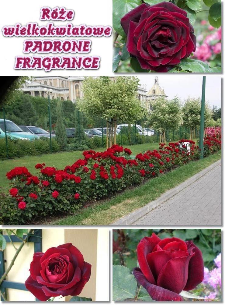 Padrone fragranze róże wielkokwiatowe