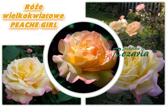 Peache girl róże wielkokwiatowe