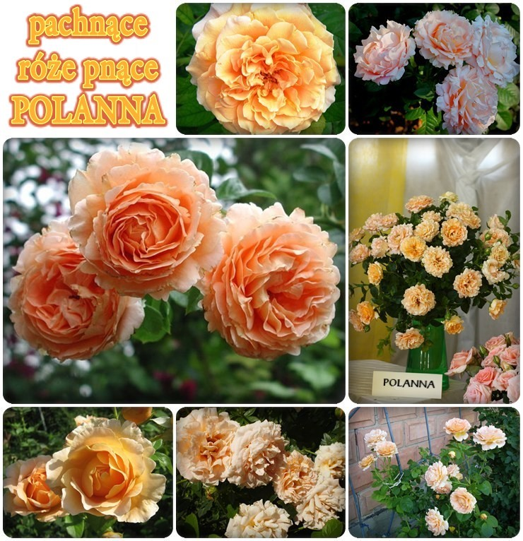 Polanna róże pnące