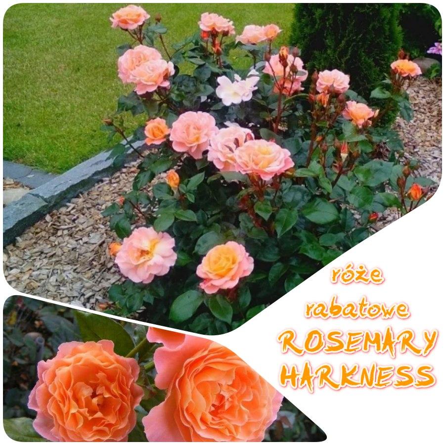 rosemary harkness róże rabatowe