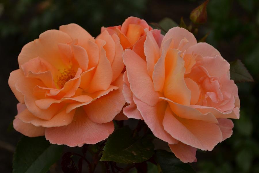 rosemary harkness łososiowe róże rabatowe