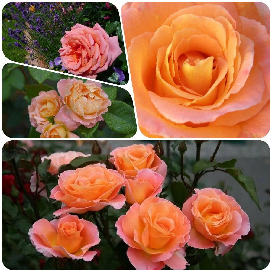 róże rabatowe rosemary harkness