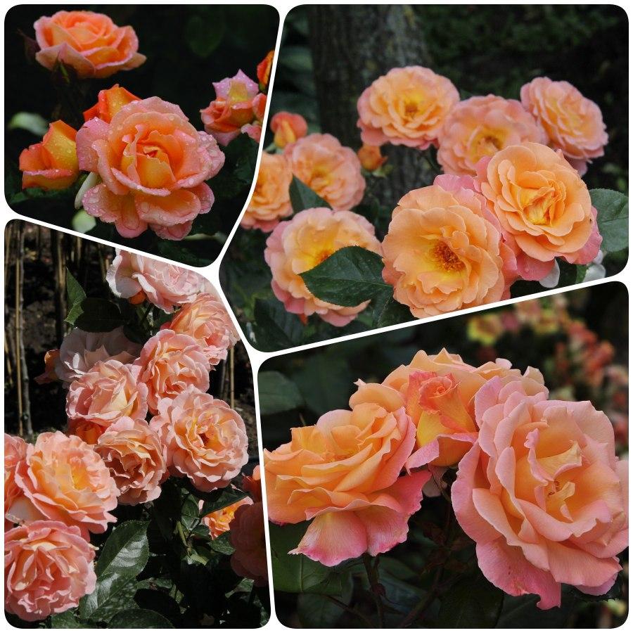 łososiowe róże rabatowe Rosemary Harkness