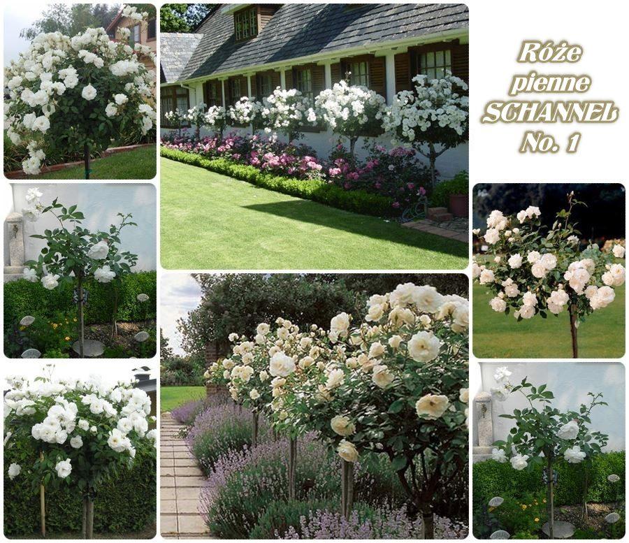 Schannel No 1 róże pienne