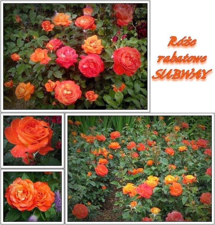 Subway róże rabatowe