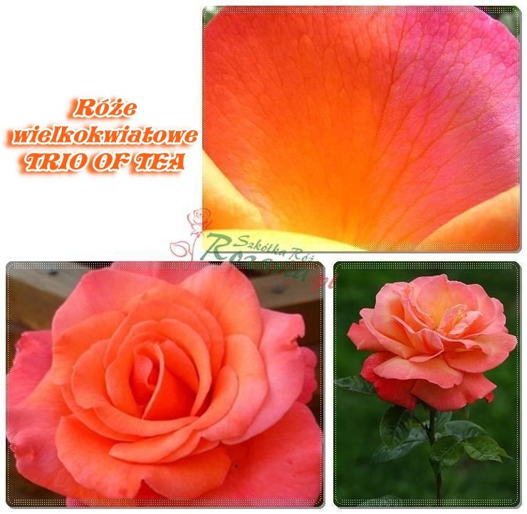 Trio of tea róże wielkokwiatowe