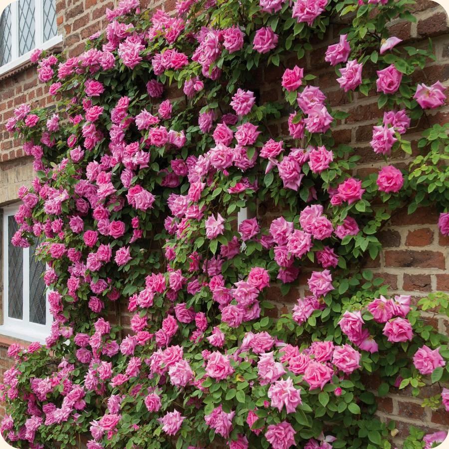 Zephirine Drouhin róże historyczne pnące